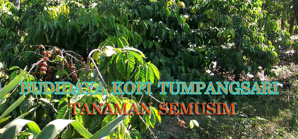 budidaya kopi sistem tumpangsari dengan tanaman semusim 1024x480 » Usaha Sampingan pada Budidaya Kopi dengan Tumpangsari Tanaman Semusim