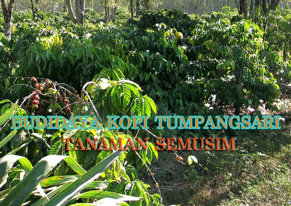 budidaya kopi sistem tumpangsari dengan tanaman semusim 960x680 » Usaha Sampingan pada Budidaya Kopi dengan Tumpangsari Tanaman Semusim
