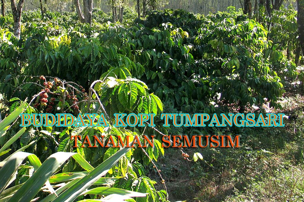 budidaya kopi sistem tumpangsari dengan tanaman semusim » Usaha Sampingan pada Budidaya Kopi dengan Tumpangsari Tanaman Semusim