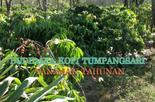 budidaya kopi sistem tumpangsari dengan tanaman tahunan 320x210 » Diversifikasi Budidaya Kopi Sistem Tumpangsari dengan Tanaman Tahunan