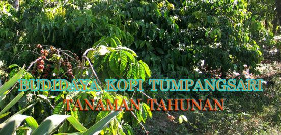 budidaya kopi sistem tumpangsari dengan tanaman tahunan 552x266 » Diversifikasi Budidaya Kopi Sistem Tumpangsari dengan Tanaman Tahunan