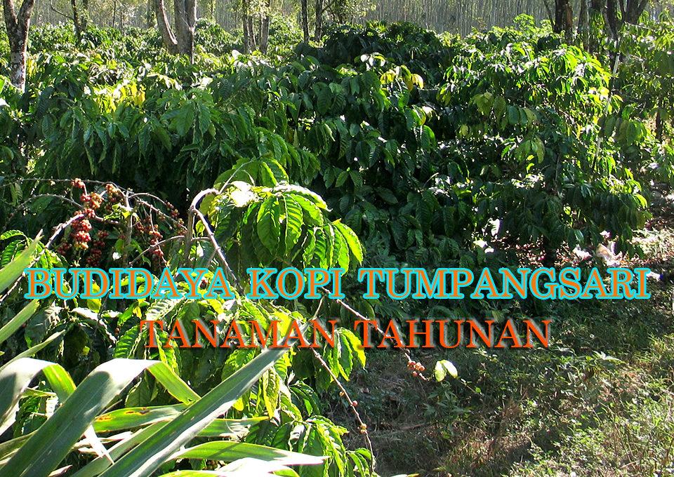 budidaya kopi sistem tumpangsari dengan tanaman tahunan 960x680 » Diversifikasi Budidaya Kopi Sistem Tumpangsari dengan Tanaman Tahunan