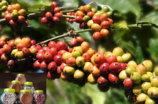 faktor penyebab pembeda citarasa aroma kopi 320x210 » Ketahui Faktor Penyebab Perbedaan Citarasa dan Aroma Kopi