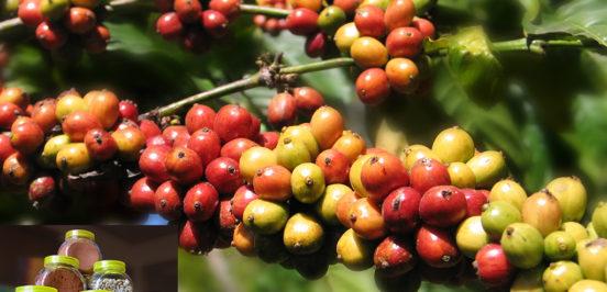 faktor penyebab pembeda citarasa aroma kopi 552x266 » Ketahui Faktor Penyebab Perbedaan Citarasa dan Aroma Kopi