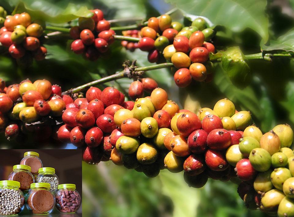 faktor penyebab pembeda citarasa aroma kopi 960x710 » Ketahui Faktor Penyebab Perbedaan Citarasa dan Aroma Kopi