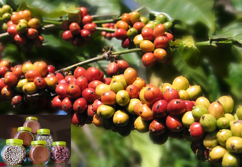 faktor penyebab pembeda citarasa aroma kopi » Ketahui Faktor Penyebab Perbedaan Citarasa dan Aroma Kopi