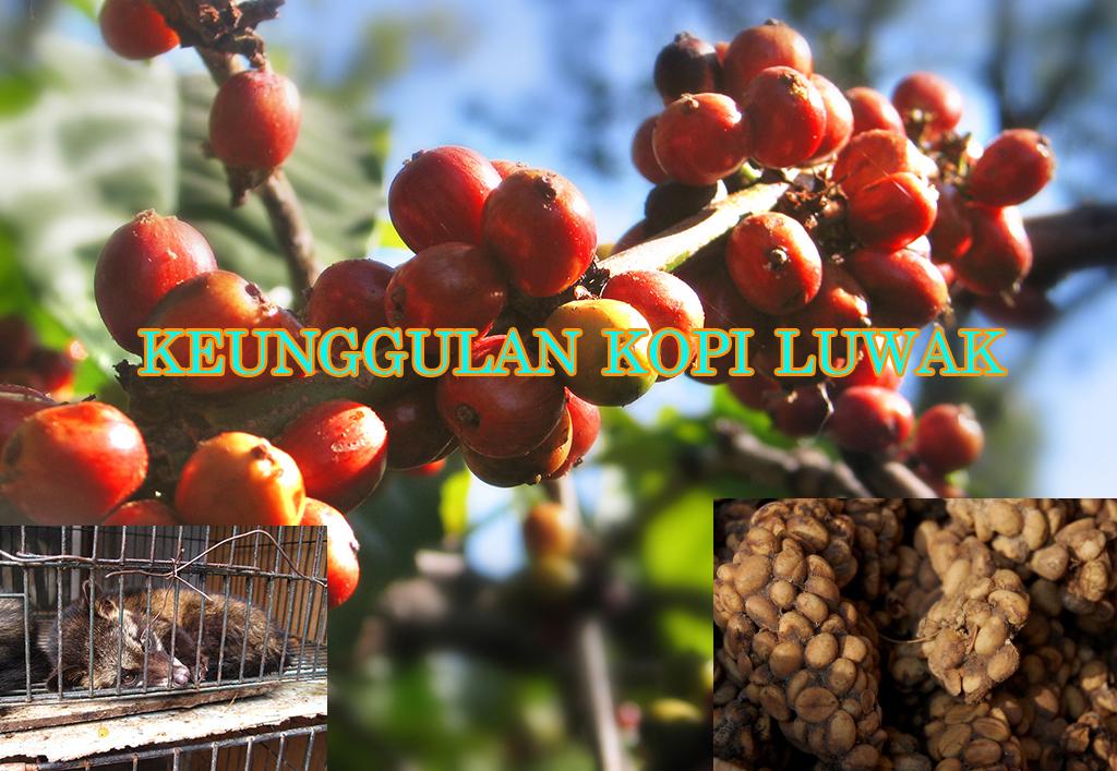 kelebihan kopi luwak » Yuk Kenali Keunggulan Kopi Luwak