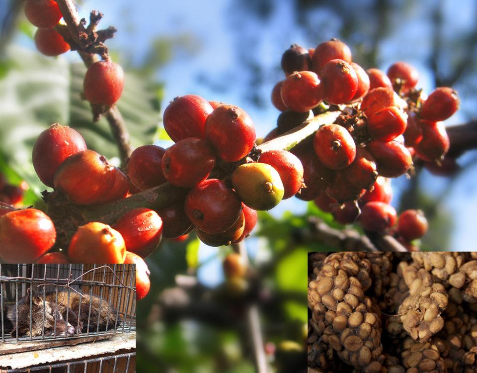 kopi luwak asli indonesia 960x750 » Kopi Luwak, Kopi Asli Indonesia yang sudah Mendunia