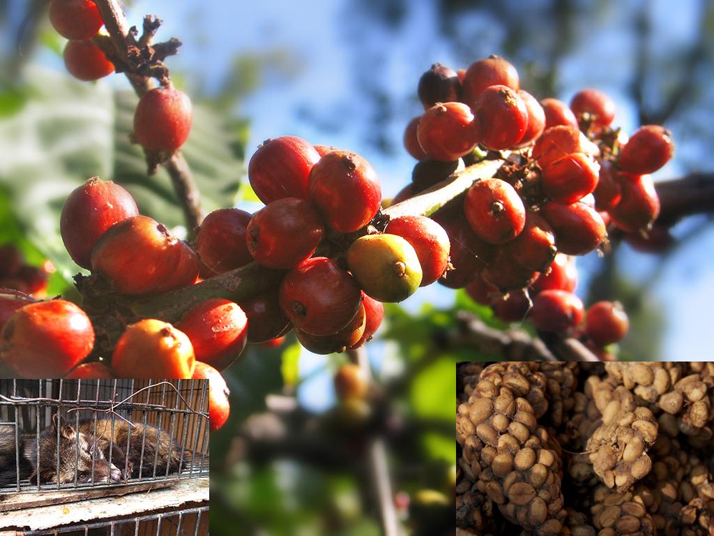 kopi luwak asli indonesia » Kopi Luwak, Kopi Asli Indonesia yang sudah Mendunia