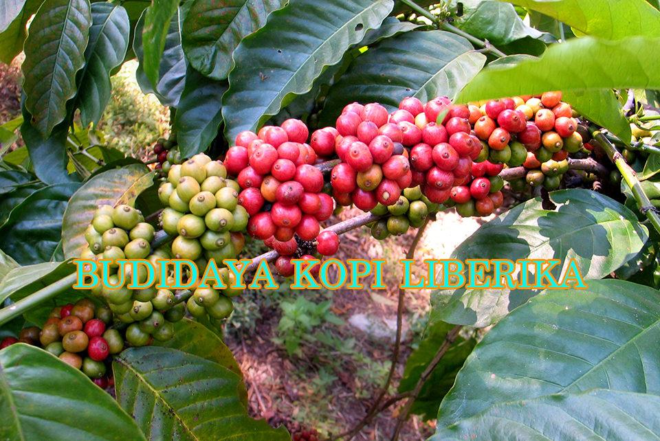 panduan budidaya kopi liberika 960x642 » Tips Cara Sukses Budidaya Kopi Liberika