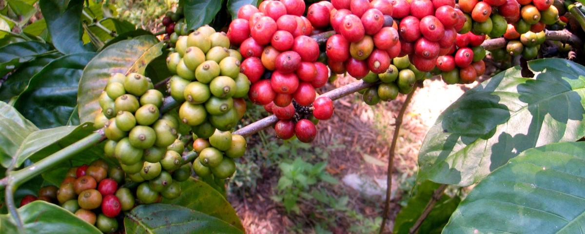 panduan proses pengolahan biji kopi 1200x480 » Ini Dia Panduan Proses Pengolahan kopi yang Berkualitas
