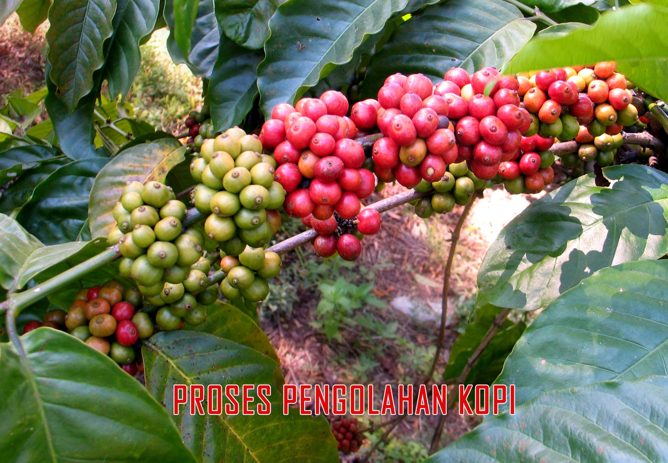 panduan proses pengolahan biji kopi » Ini Dia Panduan Proses Pengolahan kopi yang Berkualitas
