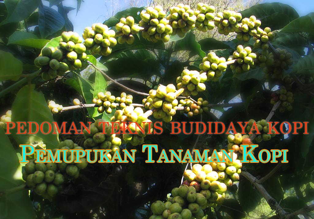 pedoman teknis budidaya kopi pemupukan tanaman kopi » Pedoman Teknis Budidaya Kopi Mudah Praktis Bagian 8 - Pemupukan Tanaman Kopi