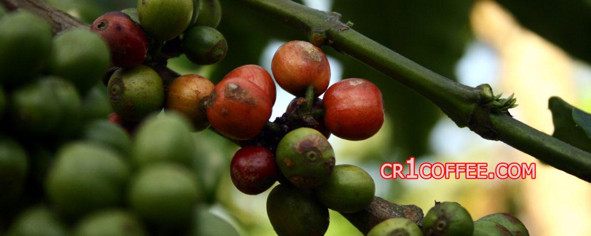 perkebunan kopi di indonesia 1200x480 » Sekilas Info tentang Perkebunan Kopi Terbesar di Indonesia
