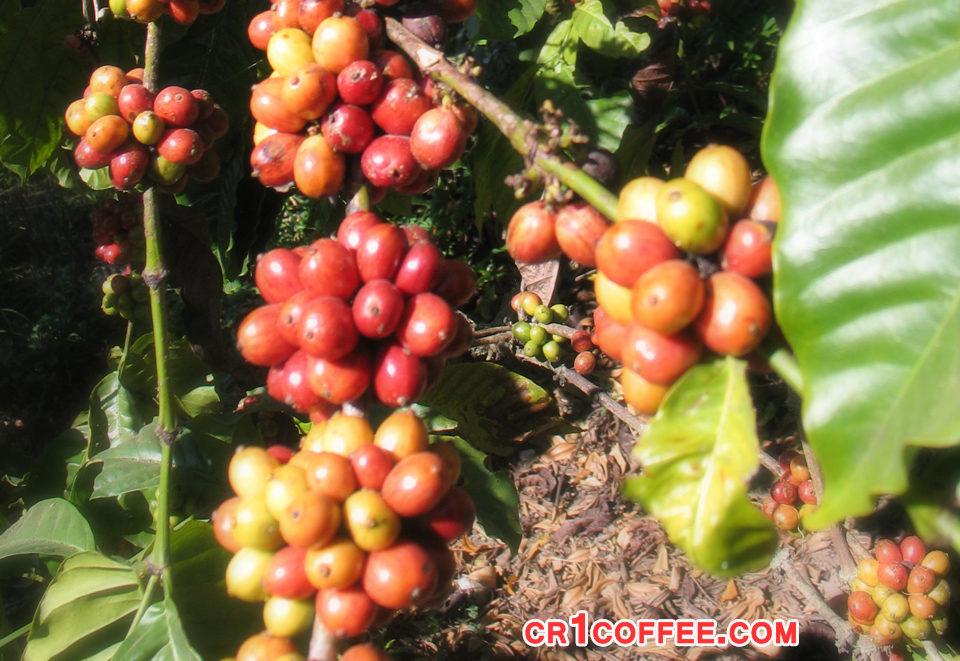 solusi adanya gulma pada perkebunan kopi 960x661 » Kerugian Akibat Gulma di Perkebunan Kopi dan Cara Mengatasinya
