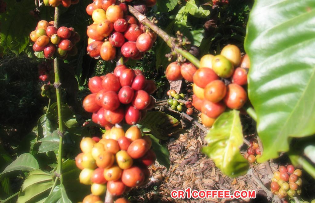 solusi adanya gulma pada perkebunan kopi » Kerugian Akibat Gulma di Perkebunan Kopi dan Cara Mengatasinya